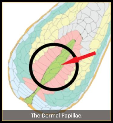 dermal papillae which is the region where divinelocks supplement work